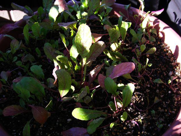 ベランダプランターの水菜収穫_c0053863_16574562.jpg