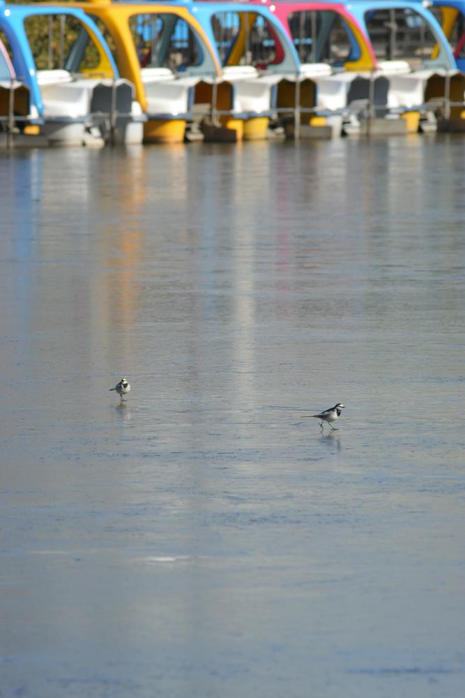 水面駆けるハクセキレイ_d0123171_10491530.jpg