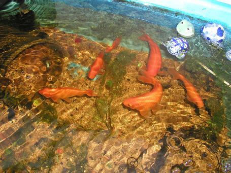 金魚とメダカ_c0180460_2351563.jpg