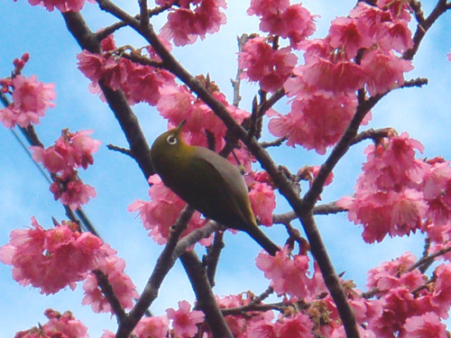 1月16日一日早い桜祭り♪_c0070933_22114614.jpg