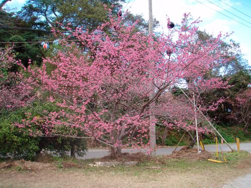 1月16日一日早い桜祭り♪_c0070933_22115739.jpg