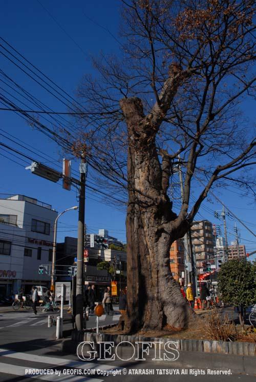 与野駅前の大ケヤキ(1)_b0007284_2144372.jpg