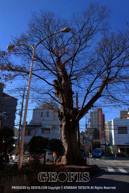 与野駅前の大ケヤキ(1)_b0007284_2145690.jpg