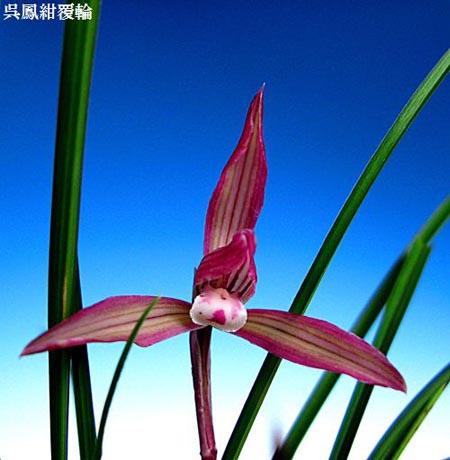 台湾春蘭「糸蘭・呉鳳の紺覆輪」           No.482_d0103457_0573854.jpg