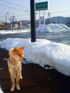 ミミさん風『私は山陰柴犬のスズです』_b0123467_12211881.jpg
