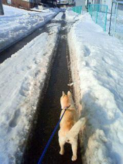 ミミさん風『私は山陰柴犬のスズです』_b0123467_12295319.jpg