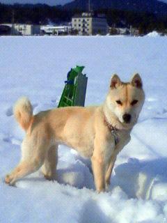 ミミさん風『私は山陰柴犬のスズです』_b0123467_12344725.jpg
