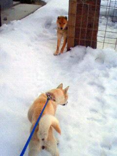 ミミさん風『私は山陰柴犬のスズです』_b0123467_1238043.jpg