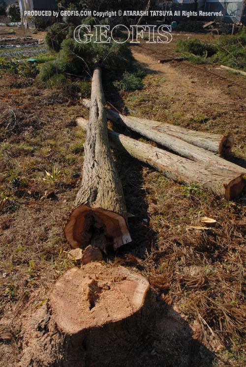 伐採、始まる・・・_b0007284_20514823.jpg