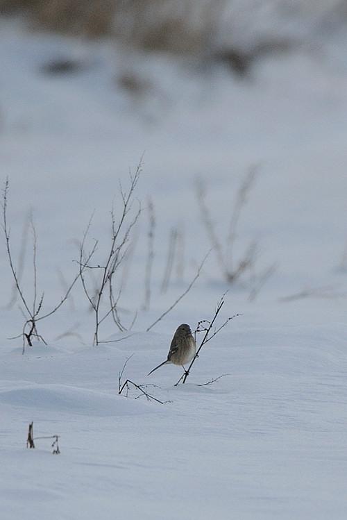 雪の農耕地にて(その1)ベニマシコ_d0099854_19154650.jpg
