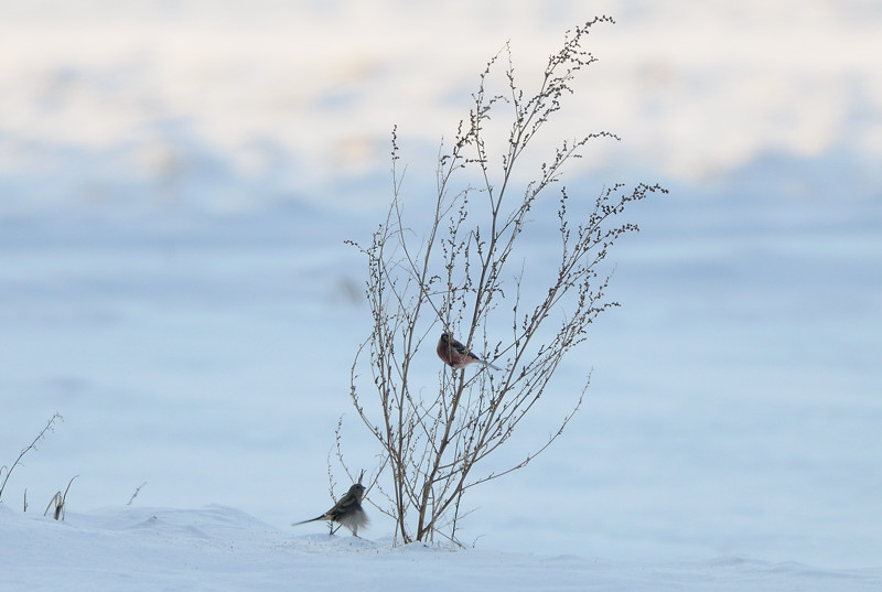雪の農耕地にて(その1)ベニマシコ_d0099854_19183134.jpg