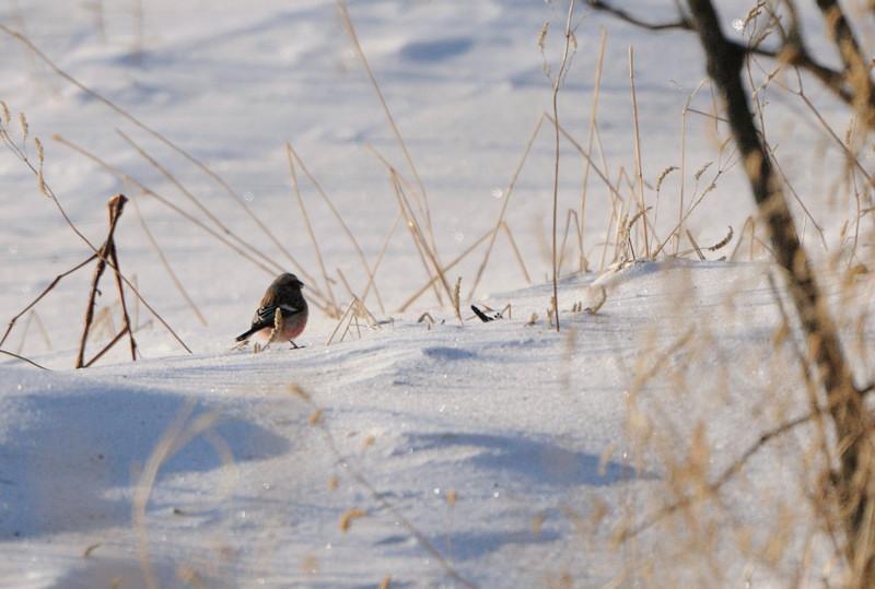 雪の農耕地にて(その1)ベニマシコ_d0099854_1964834.jpg