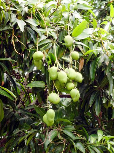 マンゴーの木の根元に落ちていた未熟果