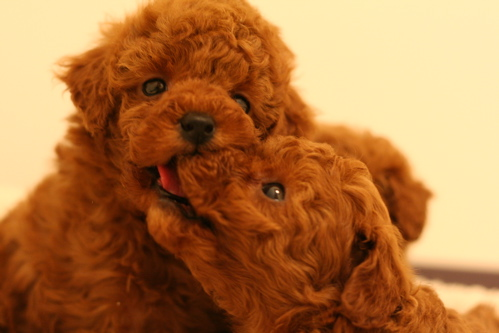 子犬情報&出産予定のお知らせです!_d0060413_190381.jpg