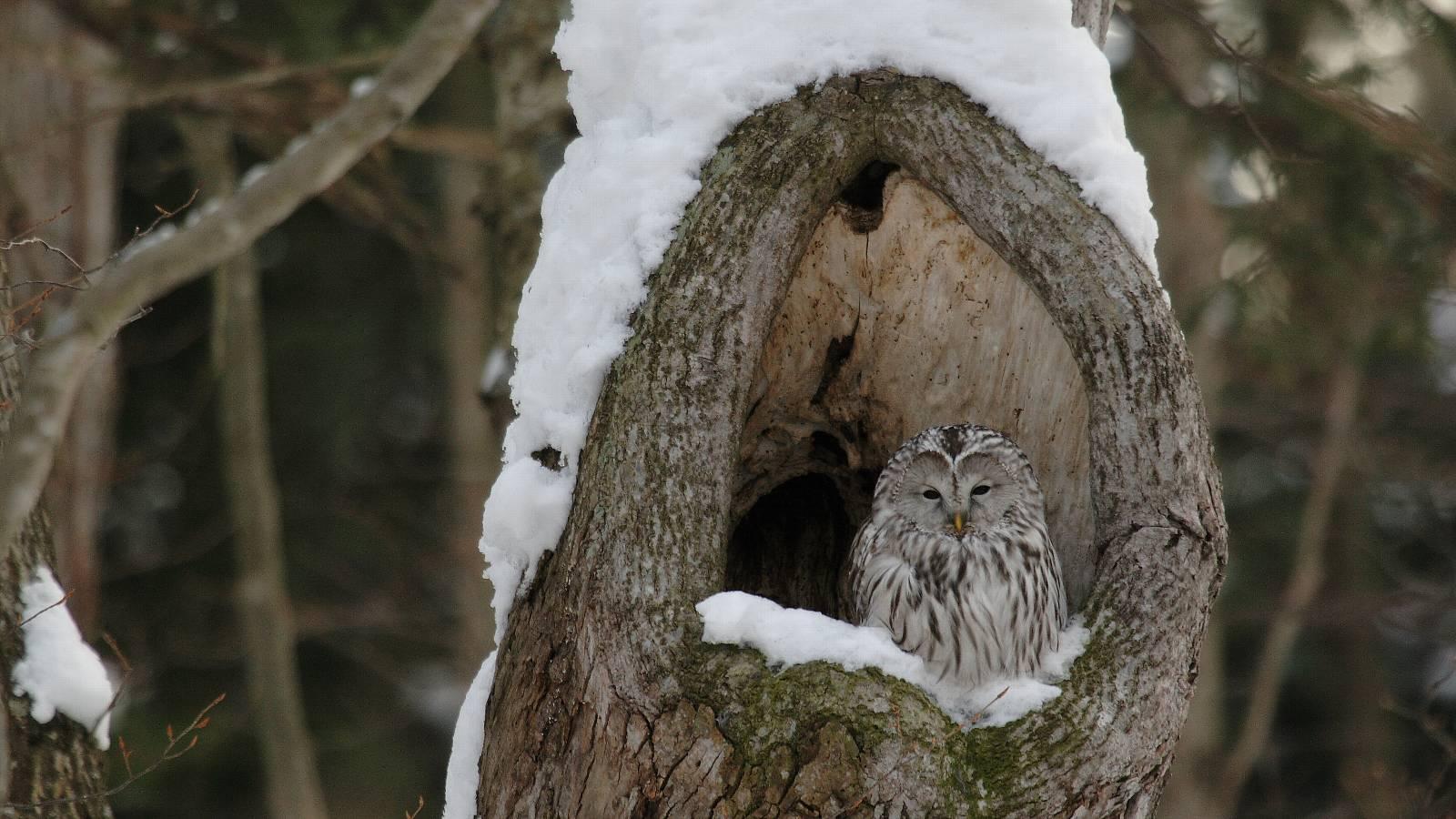 雪の中のエゾフクロウ_f0105570_21584189.jpg