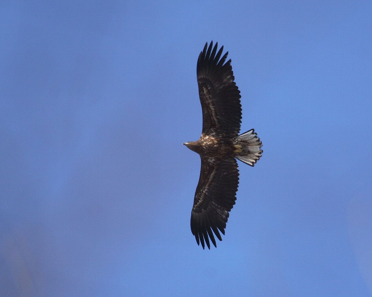 フクロウの上空にはオジロワシ_f0105570_2282339.jpg