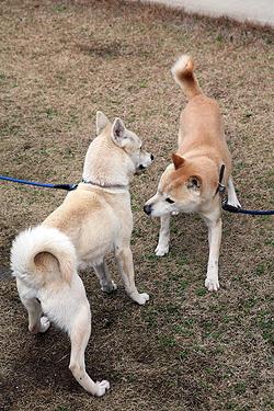 リキさん風『アタシは山陰柴犬のムギです』_b0123467_17175553.jpg