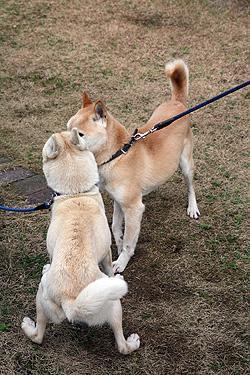 リキさん風『アタシは山陰柴犬のムギです』_b0123467_17222087.jpg