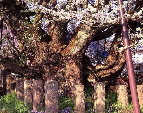 桜の起源_c0059946_117158.jpg