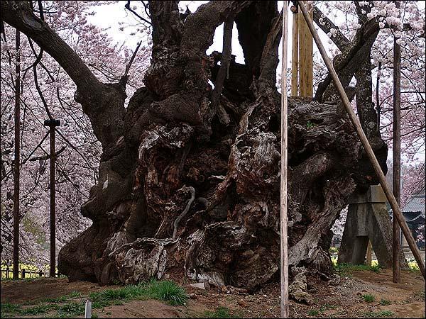 桜の起源_c0059946_1173272.jpg