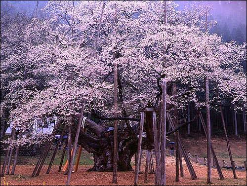 桜の起源_c0059946_1195757.jpg
