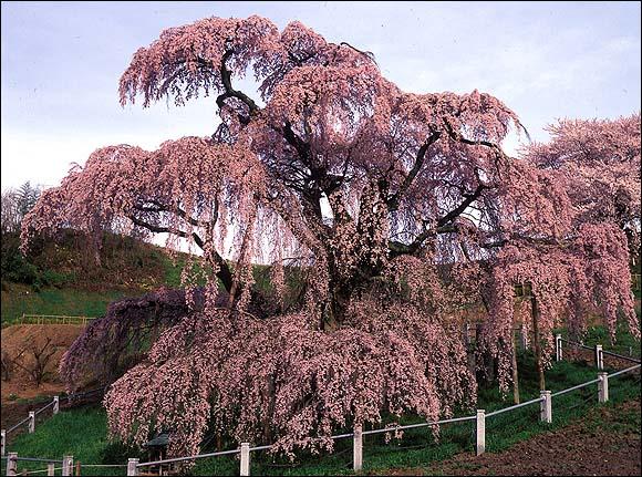 桜の起源_c0059946_120261.jpg