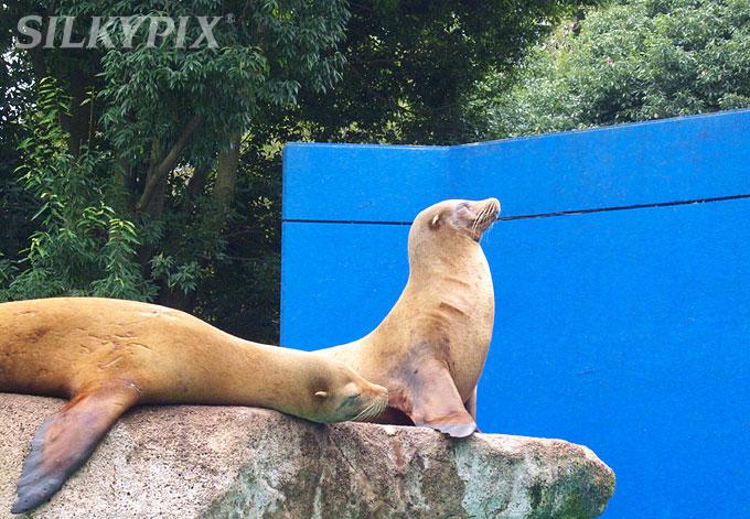 【偽色抑制】千葉動物公園のカリフォルニアアシカ_c0168669_1234641.jpg