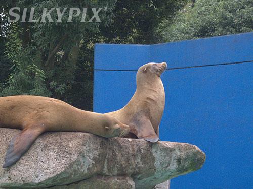 【偽色抑制】千葉動物公園のカリフォルニアアシカ_c0168669_1244630.jpg