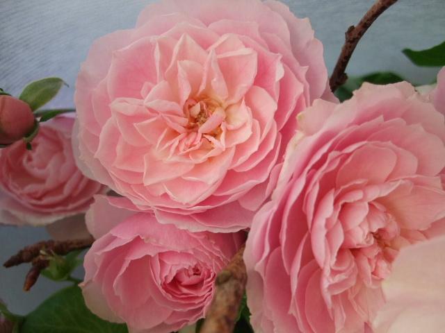 オークリーフ(寒緋桜とバラ・てまりの花束)_f0049672_16595222.jpg