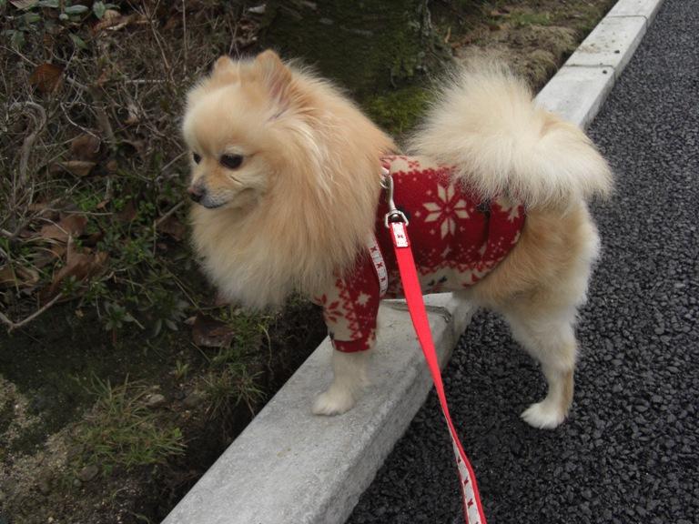 クリスマスローズとショウビタキ♂_f0106759_7155185.jpg