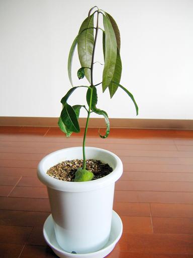 マンゴー'ケント'実生, Kent mango seedling