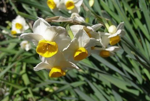 穏やかに水仙が咲く_d0147812_12321960.jpg