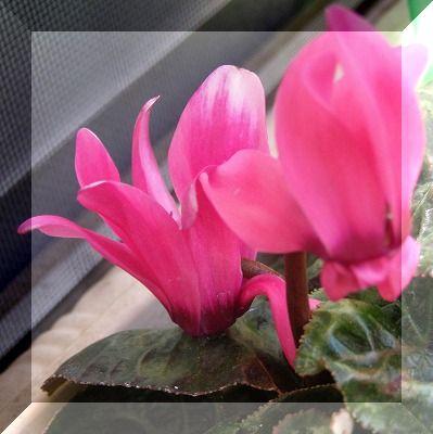 穏やかに水仙が咲く_d0147812_1528582.jpg