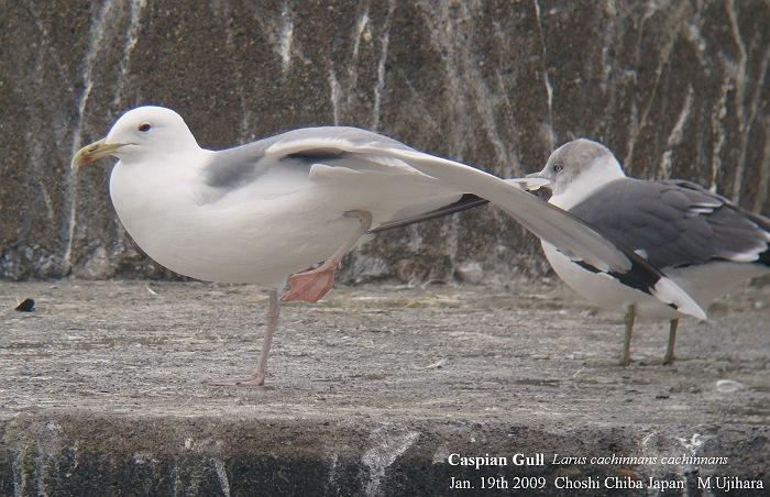 Caspian Gull_a0044783_21503088.jpg