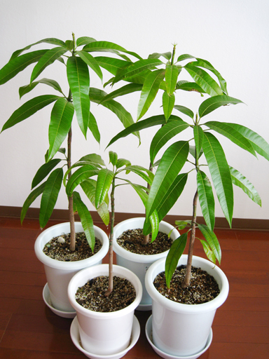 実生ピーチマンゴー, Kensington Pride mango seedlings