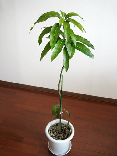 実生キーツ, Keitt mango seedling