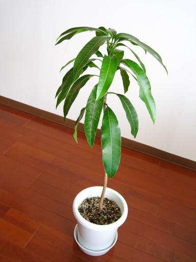 実生ケント, Kent mango seedling