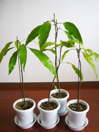 アルフォンソマンゴー実生, Alphonso mango seedlings