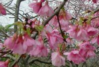 緋寒桜_d0100638_10444552.jpg