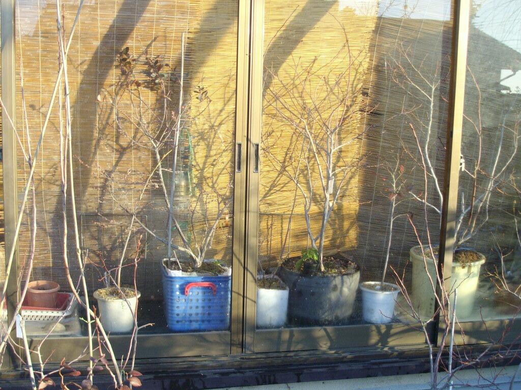 ブルーベリー屋内促成栽培開始 _f0018078_17231296.jpg