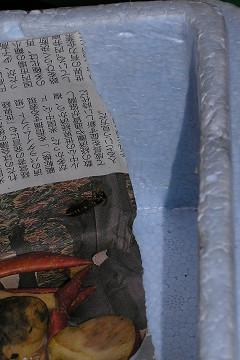 足長蜂の冬眠_c0121993_1853583.jpg