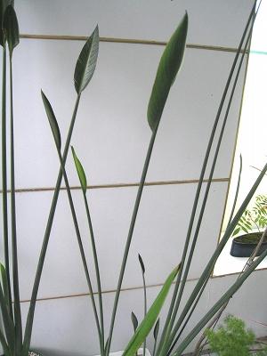 温室のある暮らし ストレリチアノンリーフ_e0010418_18185669.jpg
