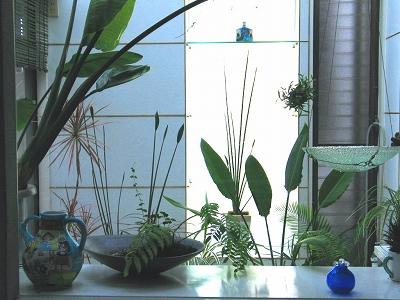 温室のある暮らし ストレリチアノンリーフ_e0010418_1819459.jpg