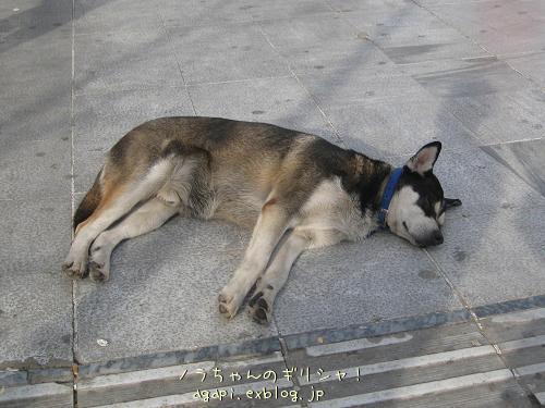 シンダグマ広場のいつもの昼寝犬_f0037264_649555.jpg