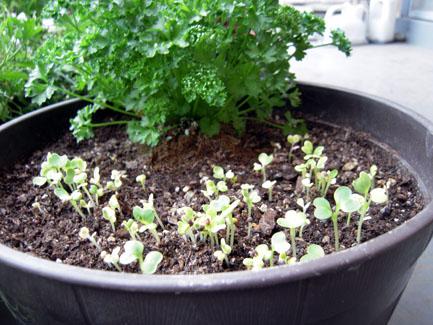 プランター菜園の「摘み菜」_d0021969_1736943.jpg
