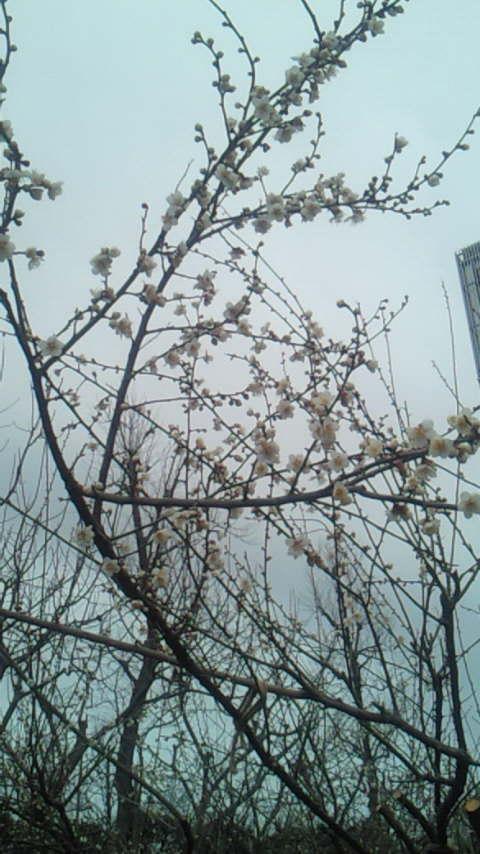 梅が咲いてました♪_d0091994_22163167.jpg