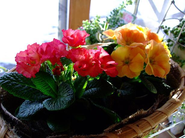 雄とのお別れと春を感じる花たち_e0012815_2152381.jpg
