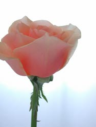 """バラ \""""アップルティー\""""_a0115684_15223755.jpg"""