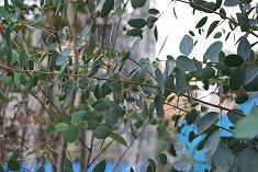 ユーカリの木 移植計画_c0124100_13393677.jpg