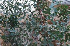 ユーカリの木 移植計画_c0124100_13394096.jpg